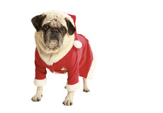 Pug in santa costume standing. Exempted, white background, dressed as santa claus, dog looking at the camera Stock Image
