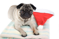 Pug and santa hat Stock Photo