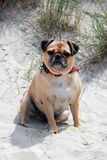 Pug sat on a english beach portrait Stock Image
