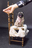 Pug seated on a chair staring right at the biscuit held in front. A white pug seated on a chair covered with a layer of white fur staring right at the biscuit Royalty Free Stock Photography