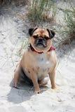 Pug sentado em um retrato inglês da praia Imagem de Stock