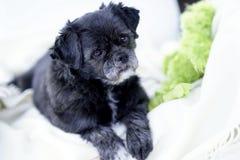 Free Pug/ShihTzu Mixed-Breed On White Blanket Royalty Free Stock Photo - 37726375
