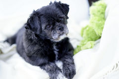 Pug/ShihTzu Mixed-Breed on white blanket Royalty Free Stock Photo
