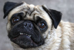 Pug Showing Teeth Stock Image