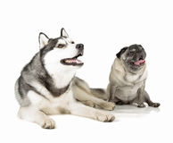 Pug and siberian husky Royalty Free Stock Photography