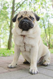 Pug sit on paving tile Stock Photo