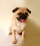 Pug sitting Stock Images