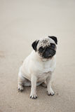 Pug sitting on beach Stock Photos