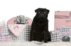 Pug sitting with Christmas gifts Royalty Free Stock Photo
