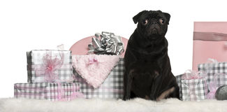 Pug sitting with Christmas gifts Royalty Free Stock Photography