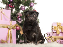 Pug sitting in front of Christmas decorations Stock Photos