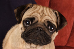 Pug sitting in front of  red background. On photo pug sitting in front of  red background Stock Photos