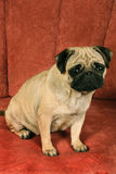 Pug sitting in front of  red background. On photo pug sitting in front of  red background Royalty Free Stock Image