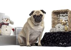 Pug sitting in front of white background. Isolated on white royalty free stock photography
