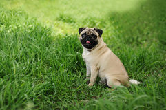 A pug sitting on the green grass Royalty Free Stock Photos