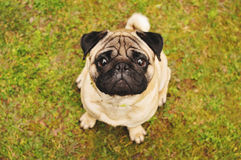 Pug sitting on green grass Royalty Free Stock Photography