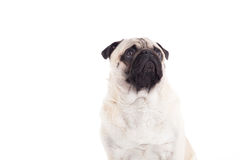 Pug is sitting. Happy dog photographed in the studio on a white background stock image