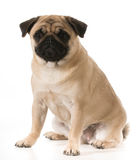 Pug sitting Stock Photo