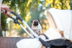 Pug sitting on the street happy and contented stock photo
