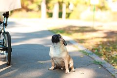 Pug sitting on the street happy and contented royalty free stock photo