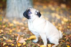 Pug sitting on the street happy and contented royalty free stock photos