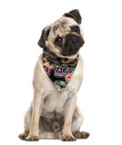 Pug sitting and wearing a scarf Royalty Free Stock Photos