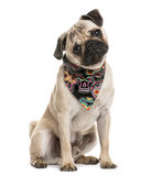 Pug sitting and wearing a scarf Royalty Free Stock Images