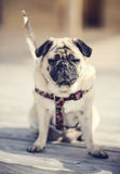 Dreamy pug. Pug sitting on a wooden floor outdoor Stock Photos