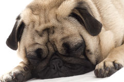 Pug Sleeping. Looking cute on white background Royalty Free Stock Image