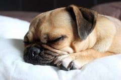 Pug sleeping. Cute pug cross dog sleeping indoors on carpet Royalty Free Stock Photo