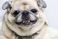 Pug with smiling funny face Stock Images