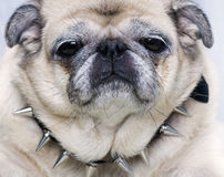 Pug with smiling funny face Stock Photography