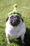 Pug smirking wearing a birthday party hat Royalty Free Stock Image