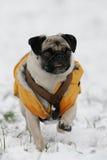 Pug in sneeuw Stock Fotografie