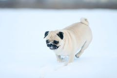 Pug in snow Stock Photography