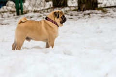 Pug in snow Royalty Free Stock Image