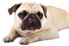 Pug sonolento com olhos tristes Fotos de Stock Royalty Free