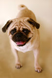 Pug Standing Stock Photography