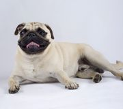 Pug standing down with mouth open royalty free stock photos