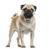 Pug standing Stock Photography