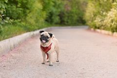 Pug standing in the garden Royalty Free Stock Photo