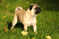 A Pug standing in the grass. A cute nice looking Pug with nice expression in head is standing in the grass Stock Images