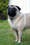 Pug standing on grass portrait close up Stock Images