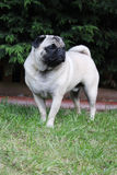 Pug standing on grass portrait Stock Photography