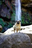 Pug standing infront of a waterfall royalty free stock image