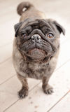 Pug standing outside on a patio Royalty Free Stock Photo
