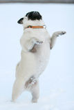 Pug standing on two legs Royalty Free Stock Photo