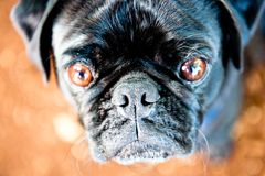Pug stare Royalty Free Stock Images