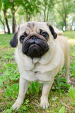 Pug stay in park. Street photo Stock Image