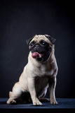Pug in studio on a black background Royalty Free Stock Images